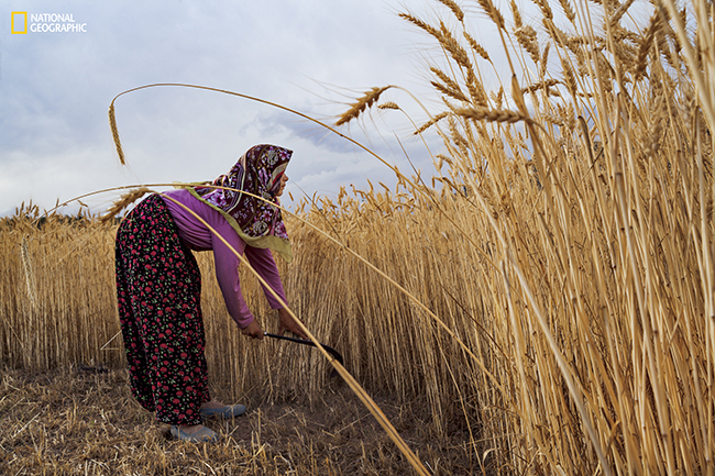 A woman harvests wheat by hand near Konya, Turkey. Farmers from Anatolia brought agriculture to Europe starting nearly 9,000 years ago. Within a few millennia, farmers and herders dominated most of the continent. (Photograph by Rémi Bénali / National Geographic)